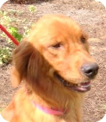 Golden Retriever Dog for adoption in New Canaan, Connecticut - Rose