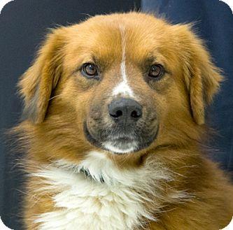 Collie Mix Dog for adoption in Martinsville, Indiana - Redding