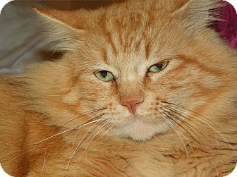 Domestic Longhair Cat for adoption in Houston, Texas - Homer