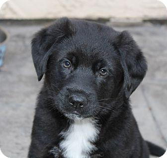 Australian Shepherd/Labrador Retriever Mix Puppy for adoption in La Habra Heights, California - Jake