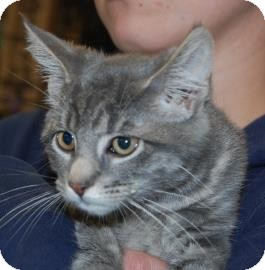 Domestic Shorthair Kitten for adoption in Brooklyn, New York - Scorpion