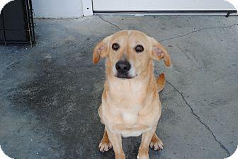 Labrador Retriever Mix Dog for adoption in Dinwiddie, Virginia - Charlie