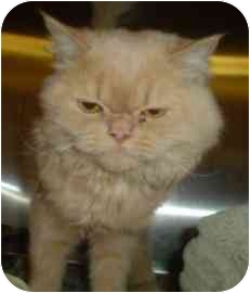 Persian Cat for adoption in Walker, Michigan - Smuchie