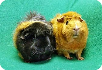 Guinea Pig for adoption in Lewisville, Texas - Princess and Hannah