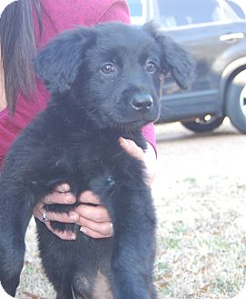 Golden Retriever/Spaniel (Unknown Type) Mix Puppy for adoption in Fishkill, New York - COLE