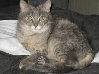Domestic Mediumhair/Domestic Shorthair Mix Cat for adoption in Sheboygan, Wisconsin - Elsa