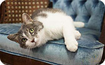 Domestic Longhair Cat for adoption in Detroit Lakes, Minnesota - Ruffles