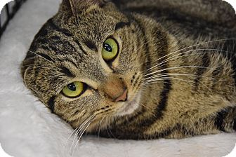 Domestic Shorthair Cat for adoption in Highland Park, New Jersey - Tangier