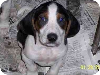 Foxhound Mix Puppy for adoption in Bloomsburg, Pennsylvania - Male Puppy #2
