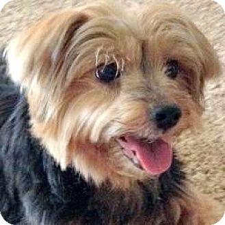 Yorkie, Yorkshire Terrier Dog for adoption in Dartmouth, Massachusetts - Brie