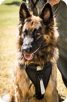 German Shepherd Dog Mix Dog for adoption in Phoenix, Arizona - Grimm