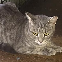 Domestic Shorthair Cat for adoption in New York, New York - Taffy
