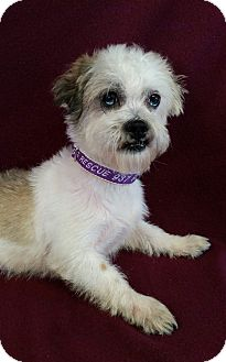 Shih Tzu Mix Dog for adoption in Urbana, Ohio - Castle Barkley