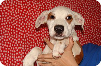 Mastiff/American Bulldog Mix Puppy for adoption in Oviedo, Florida - Keno