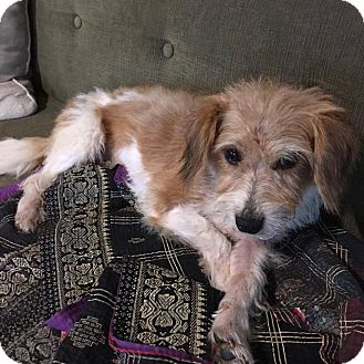 Jack Russell Terrier Mix Dog for adoption in Pataskala, Ohio - Henry (Adoption pending)