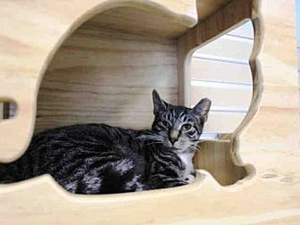 Domestic Mediumhair Cat for adoption in Hampton Bays, New York - CORNELIUS