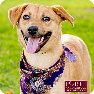 Labrador Retriever/Shiba Inu Mix Dog for adoption in Marina del Rey, California - Charly