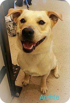 Labrador Retriever/Shiba Inu Mix Dog for adoption in Augusta, Maine - A - ARCHIE