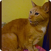 American Shorthair Cat for adoption in Cleveland, Ohio - Little Red