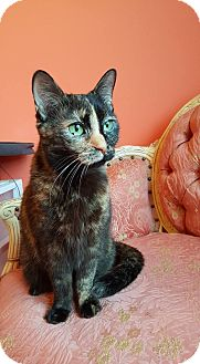 Domestic Shorthair Cat for adoption in Naperville, Illinois - Layla-SPONSORED
