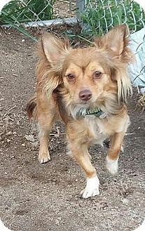 Papillon/Chihuahua Mix Dog for adoption in Carthage, North Carolina - Scamp