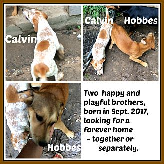 Australian Cattle Dog Mix Puppy for adoption in Malvern, Arkansas - CALVIN