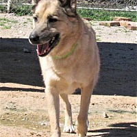 Adopt A Pet :: Scout - San Tan Valley, AZ
