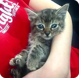 Domestic Shorthair Kitten for adoption in ROSENBERG, Texas - Leo
