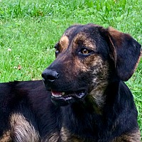 Adopt A Pet :: Dozer - Pulaski, TN