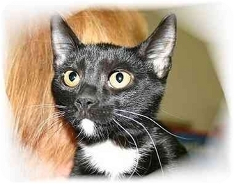 Domestic Shorthair Kitten for adoption in Montgomery, Illinois - Angelicka
