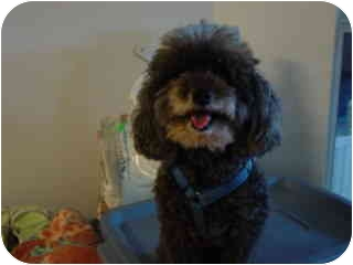 Miniature Poodle Mix Dog for adoption in Melbourne, Florida - HENRY