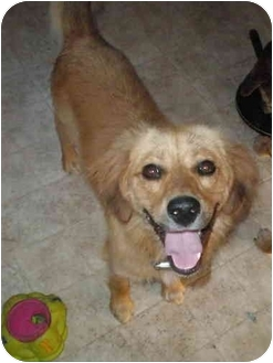 Golden Retriever/Retriever (Unknown Type) Mix Dog for adoption in Franklin, Virginia - Zeke