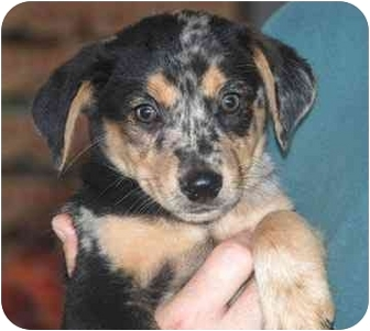 Australian Shepherd/Flat-Coated Retriever Mix Puppy for adoption in Spring Valley, New York - Ollie