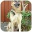 Photo 1 - German Shepherd Dog Dog for adoption in Los Angeles, California - Carson von Lawall