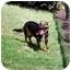 Photo 3 - Dachshund/German Shepherd Dog Mix Dog for adoption in Inman, South Carolina - Gracie