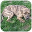 Photo 3 - American Pit Bull Terrier/Labrador Retriever Mix Dog for adoption in Peoria, Illinois - Callie