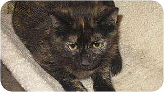 Domestic Shorthair Cat for adoption in Tustin, California - Dynasty