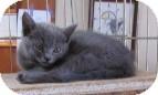 Russian Blue Kitten for adoption in Phoenix, Arizona - Fenway