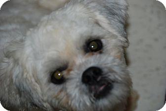 Lhasa Apso Mix Dog for adoption in Philadelphia, Pennsylvania - Max
