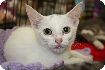 Domestic Shorthair Kitten for adoption in Vero Beach, Florida - Angel