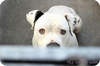American Bulldog/Boxer Mix Dog for adoption in Valley Village, California - Bailey