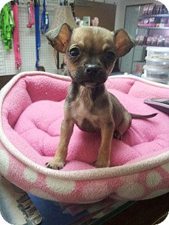Chihuahua Mix Puppy for adoption in Yelm, Washington - Lynne