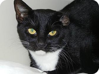 Domestic Shorthair Cat for adoption in Miami, Florida - Mama Cass