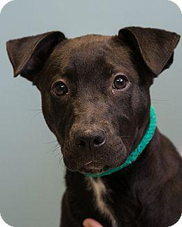 Retriever (Unknown Type) Mix Puppy for adoption in Staunton, Virginia - Babs
