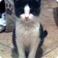 Adopt A Pet :: Vixen - Denton, TX