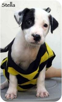 Dalmatian Puppy for adoption in Mandeville Canyon, California - Stella