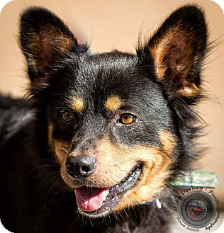 Shiba Inu/Chow Chow Mix Dog for adoption in Westminster, California - Montgomery