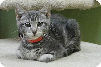 Domestic Shorthair Kitten for adoption in Benbrook, Texas - Nancy