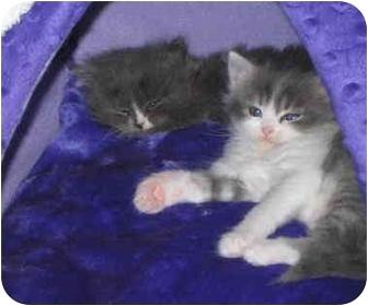 Persian Kitten for adoption in Davis, California - Froggie