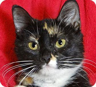 Domestic Mediumhair Cat for adoption in Renfrew, Pennsylvania - Posy